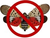 No spottted lanternfly