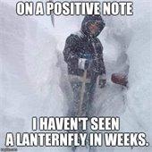 Lanternfly funny